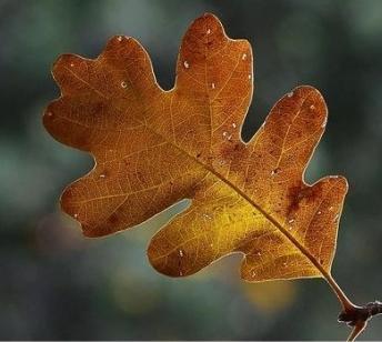 листья дуба