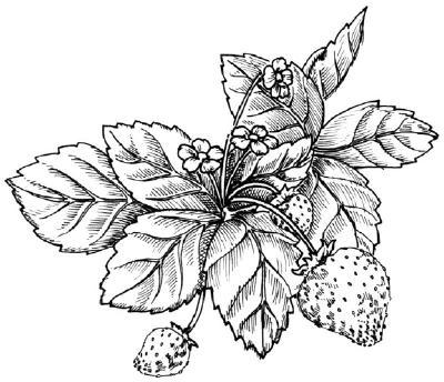 Рисунок карандашом клубника