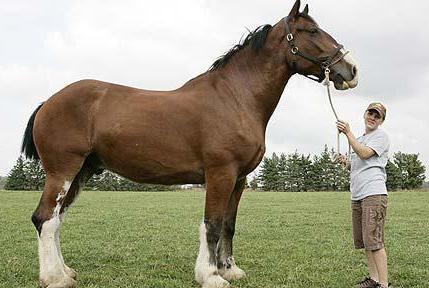 Лошадь породы першерон рост