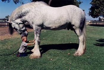 Конь першерон фото