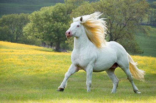 лошадь породы першерон цена