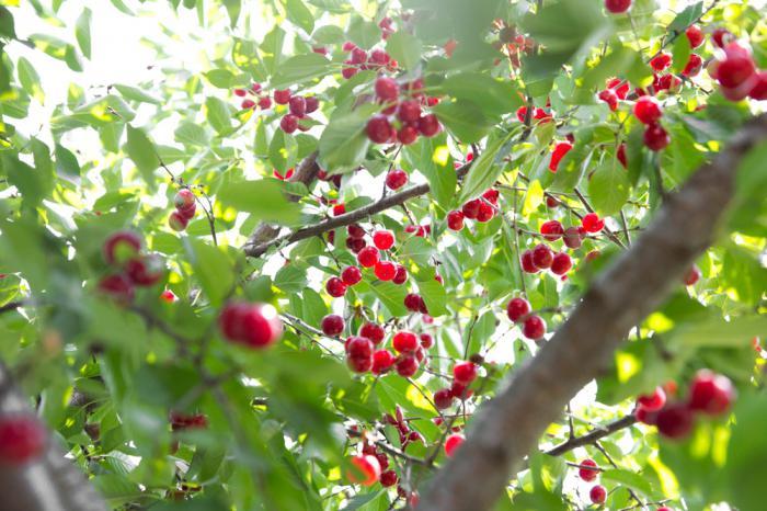 Вишня кустарник или дерево