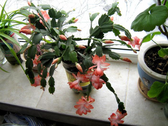 Родина растения декабрист
