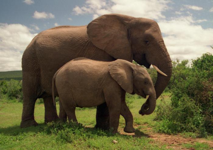 африканский, индийский слон