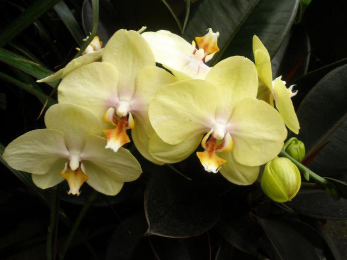 орхидея фаленопсис желтая