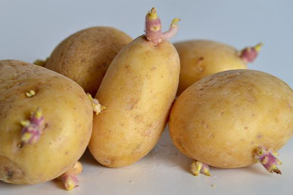 Яровизация картофеля перед посадкой программа минимум
