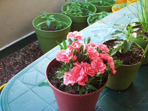 Гвоздика в выращивание в домашних условиях