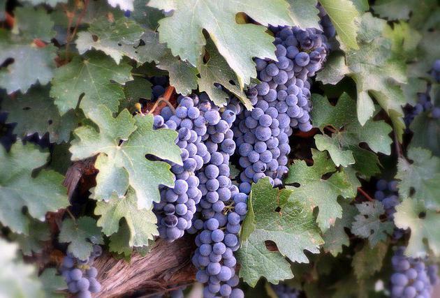Виноград сорта