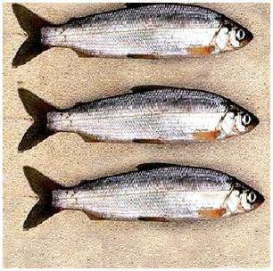 рыба тугунок