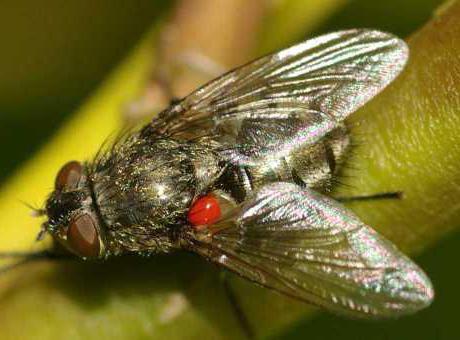 летающие кровососущие насекомые