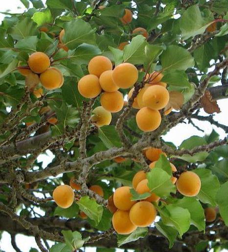 Маска для лица из абрикосов. Рецепты абрикосовой маски
