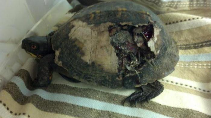 черепаха без панциря может жить