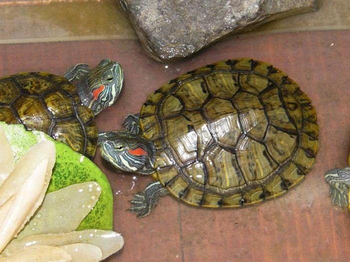 красноухая черепаха без панциря