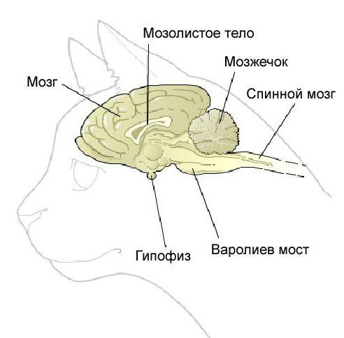 Эпилепсия у кошек симптомы лечение