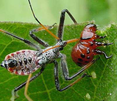 от жука колорадского народные средства