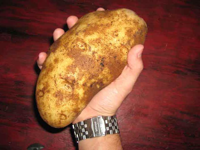 как вырастить ведро картошки с одного куста
