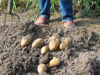 опыт выращивания картофеля 20 кустов 40 ведер