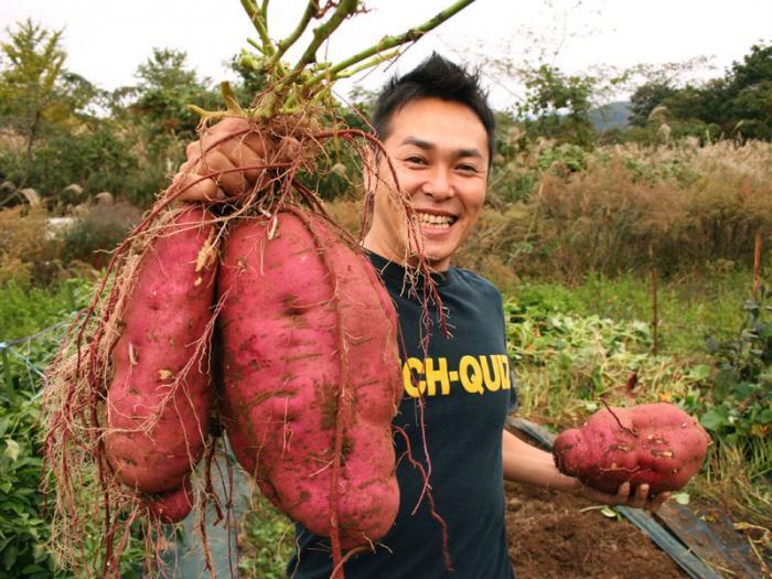 как вырастить целое ведро картофеля с одного куста