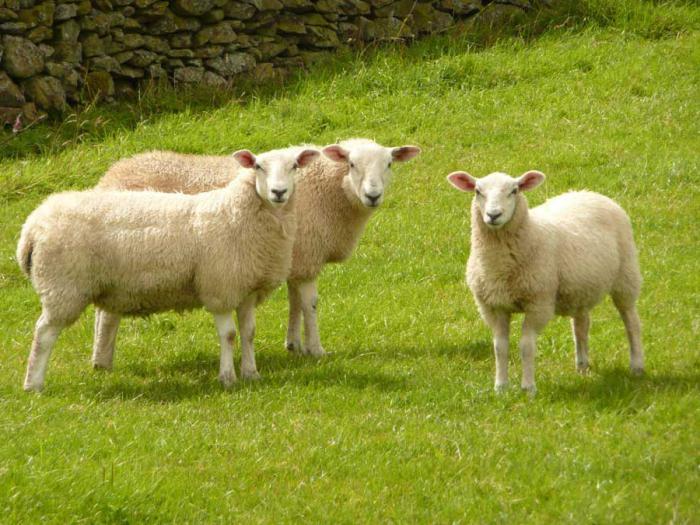 овечий сыр