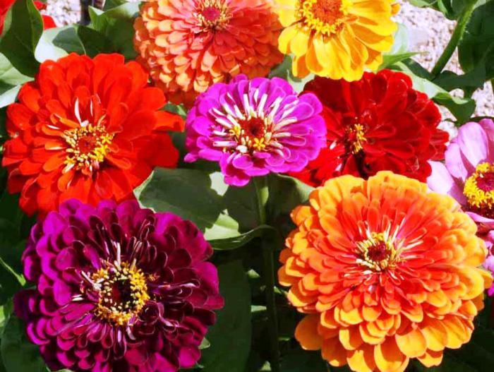 цветы майоры фото