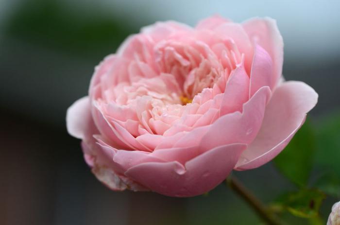 Как называются цветы похожие на пионы