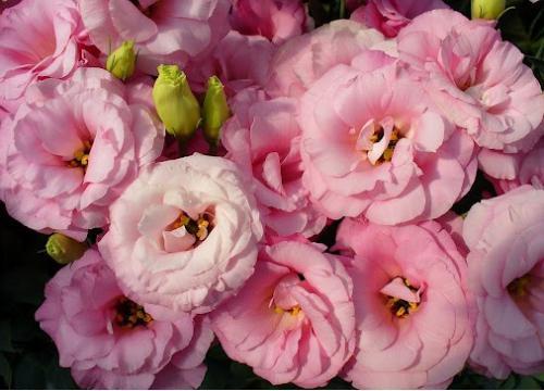 Квіти схожі на півонії