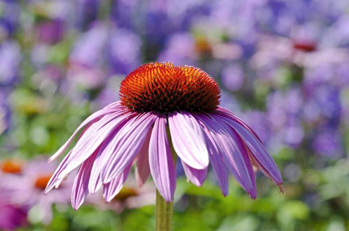 Багаторічні квіти на дачі