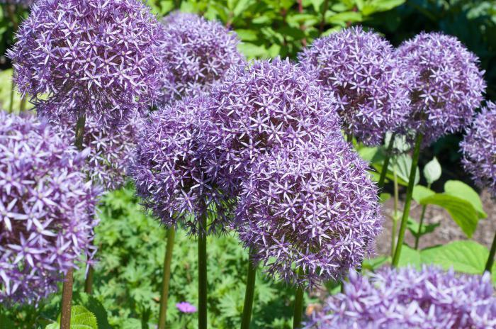 Сиреневые цветы фото с названиями