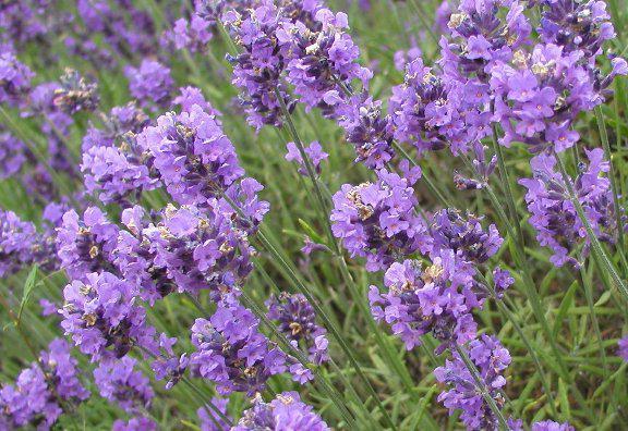 сиреневые цветы названия и фото