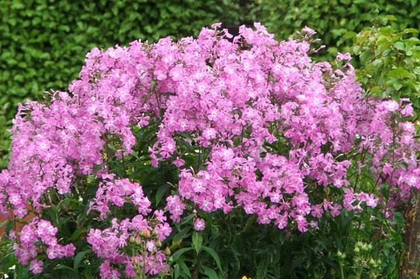 сиреневые цветы фото и названия