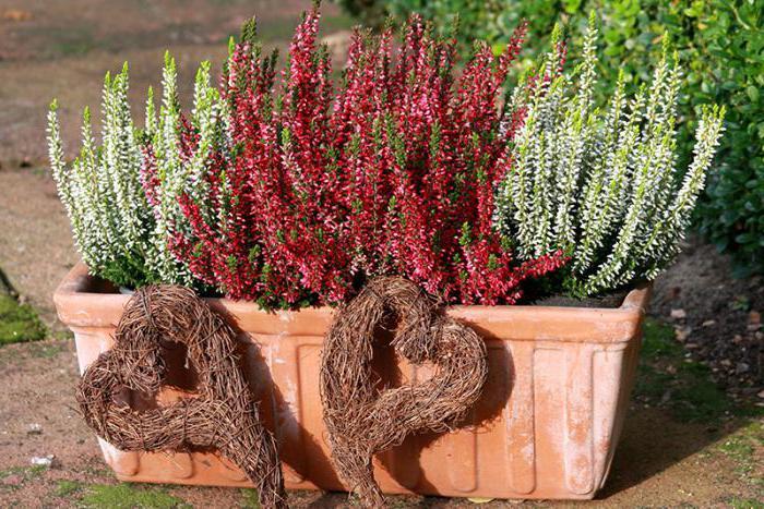 выращивание вереска в домашних условиях
