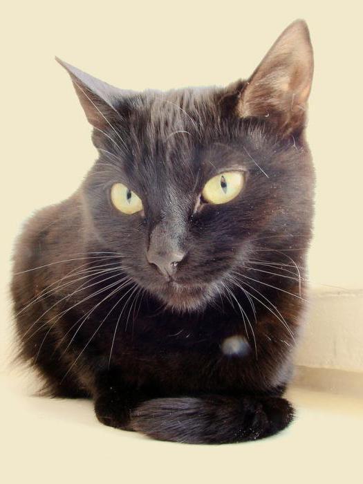 йоркская шоколадная кошка отзывы владельцев