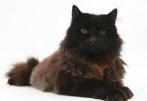 йоркская шоколадная кошка характеристика породы