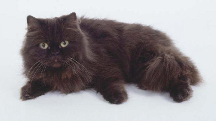 йоркская шоколадная кошка особенности ухода