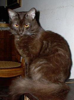 йоркская шоколадная кошка описание внешности