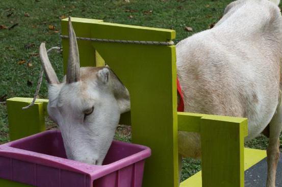 Доильный станок для козы чертеж