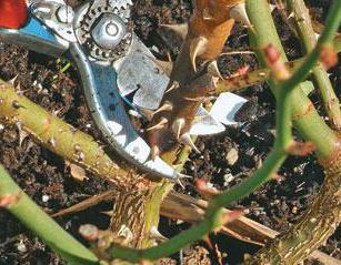 Обрезка и подкормка осенью роз
