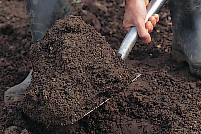 как сажать черную смородину осенью