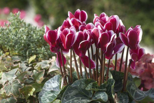 цикламен цветок уход