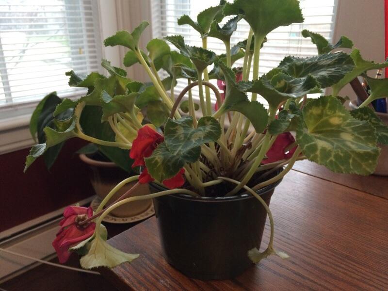 цикламены выращивание и уход в домашних условиях