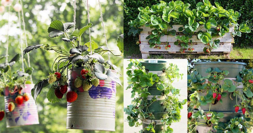 Выращивание клубники в домашних условиях на балконе: выбор