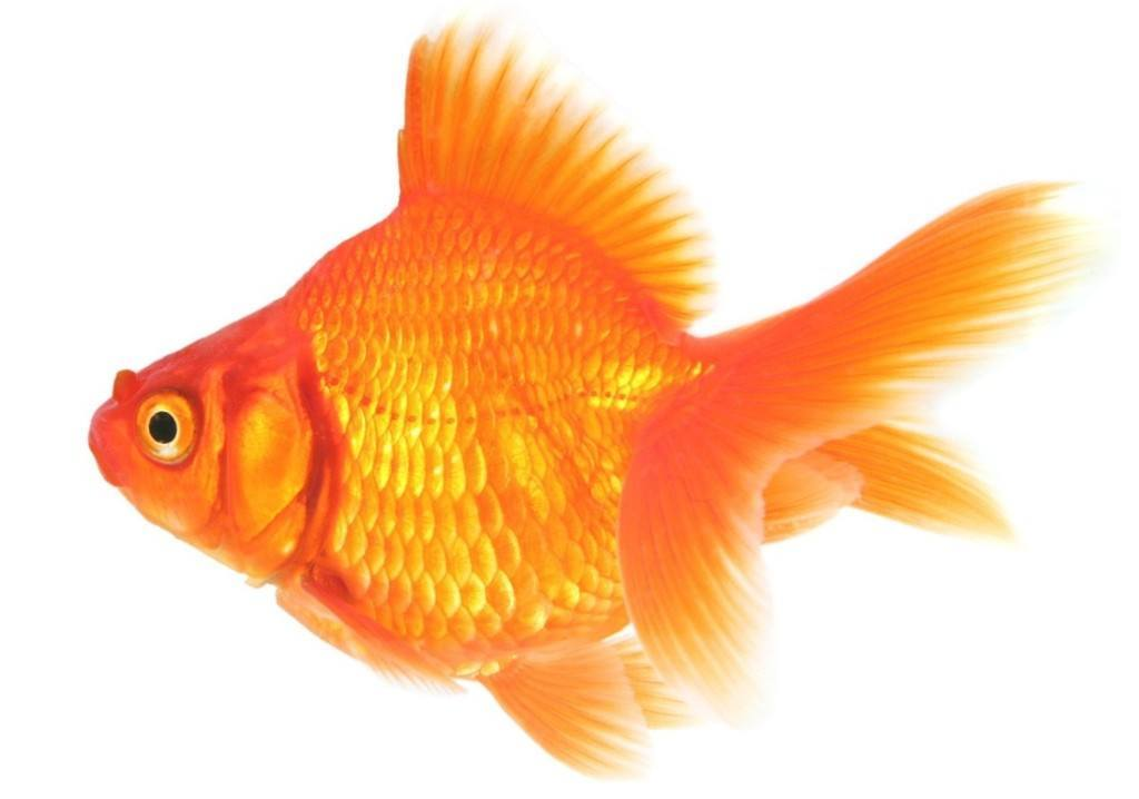 Открытки днем, картинки золотых рыбок для детей