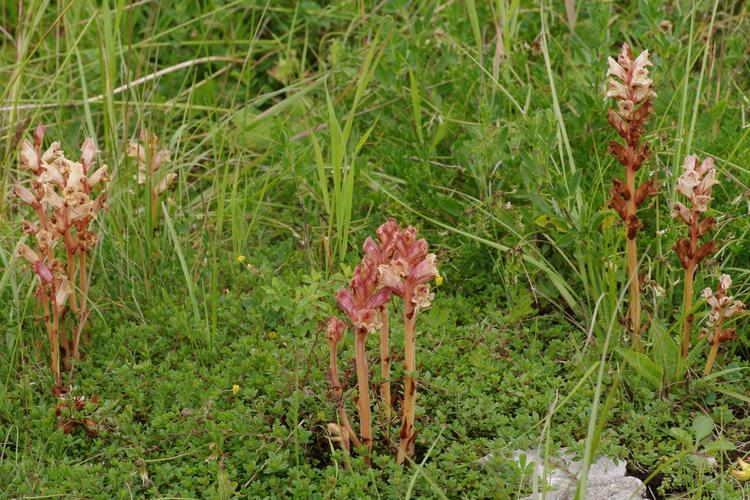 растения паразиты заразиха петров крест относят к