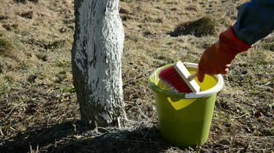 побелка плодовых деревьев весной состав