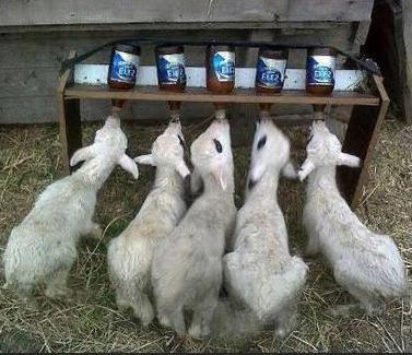 выращивание ягнят и козлят