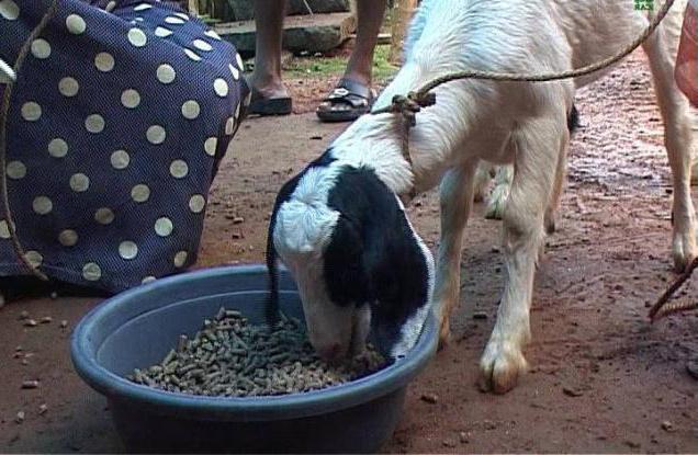 кормление новорожденных козляÑ'