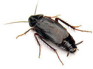 таракан чёрный фото