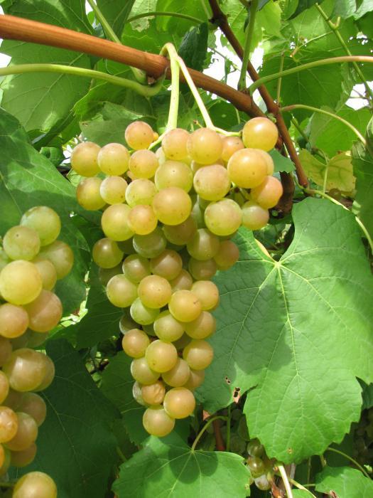 виноград платовский отзывы