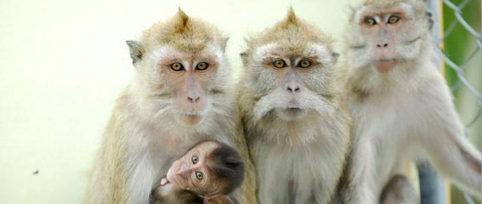 обезьяна яванская макака