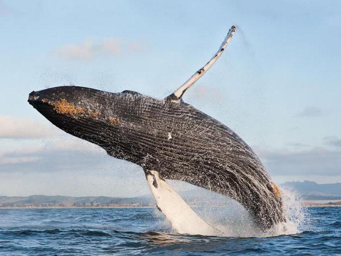 кит самое большое млекопитающее